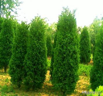 种植龙柏树(北方12月份还能种植龙柏树吗?)