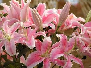百合花(百合花怎样栽种和养护?)