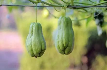 佛手瓜种子可以种吗(佛手瓜种子怎么种)