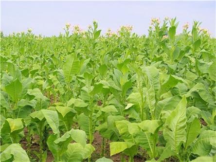 烟草赤星病防治丨提高烟草的抵抗能力,配合农药科学防治病害